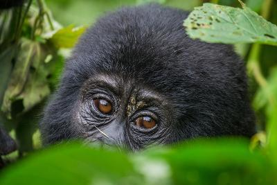 Portrait of a Mountain Gorilla. Uganda. Bwindi Impenetrable Forest National Park. an Excellent Illu-GUDKOV ANDREY-Photographic Print