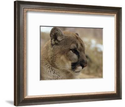 Portrait of a Mountain Lion in Profile-Dr. Maurice G. Hornocker-Framed Photographic Print