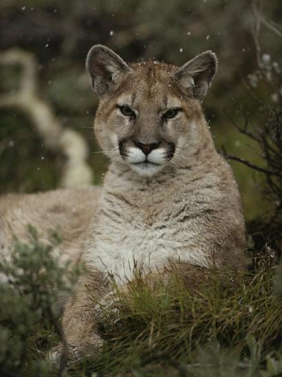 Portrait of a Mountain Lion with Snowflakes-Jim And Jamie Dutcher-Photographic Print