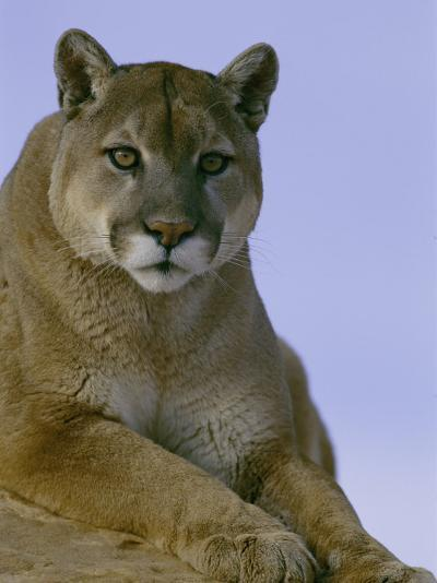 Portrait of a Mountain Lion-Norbert Rosing-Photographic Print