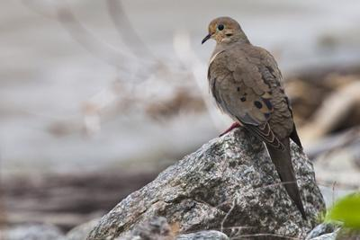https://imgc.artprintimages.com/img/print/portrait-of-a-mourning-dove-zenaida-macroura-on-a-rock-along-the-occoquan-river_u-l-pswg260.jpg?p=0