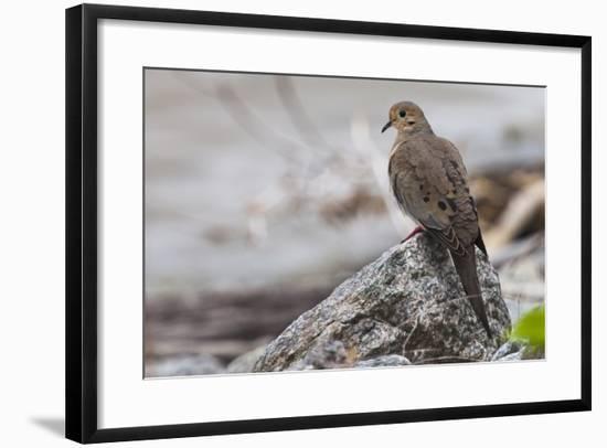 Portrait of a Mourning Dove, Zenaida Macroura, on a Rock Along the Occoquan River-Kent Kobersteen-Framed Photographic Print