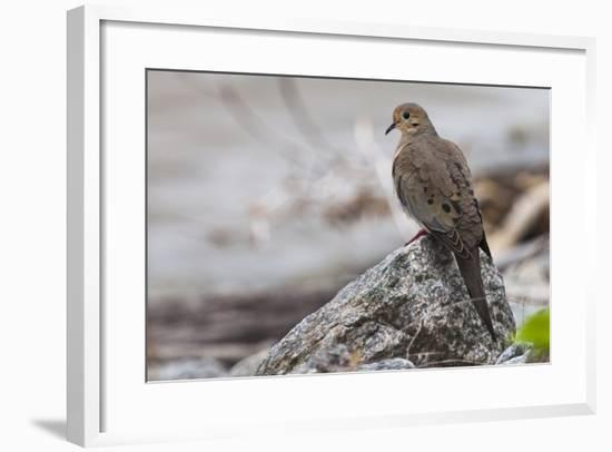 Portrait of a Mourning Dove, Zenaida Macroura, on a Rock Along the Occoquan River-Kent Kobersteen-Framed Photographic Print