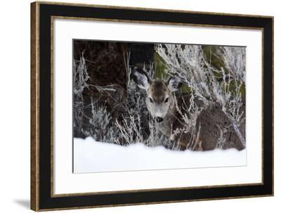 Portrait of a Mule Deer, Odocoileus Hemionus, in a Snowy Landscape-Marc Moritsch-Framed Photographic Print