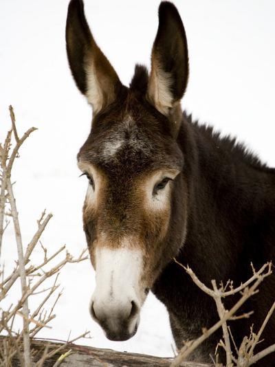 Portrait of a Mule in Fresh Snow-Stephen St^ John-Photographic Print