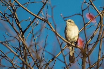 Portrait of a Northern Mockingbird, Mimus Polyglottos, Perched in a Tree Top-Kent Kobersteen-Photographic Print