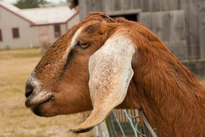 Portrait of a Nubian Goat Looking Out of its Pen Photographic Print by  Darlyne A  Murawski | Art com