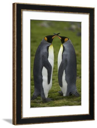 Portrait of a Pair of King Penguins, Aptenodytes Patagonicus-Tim Laman-Framed Photographic Print