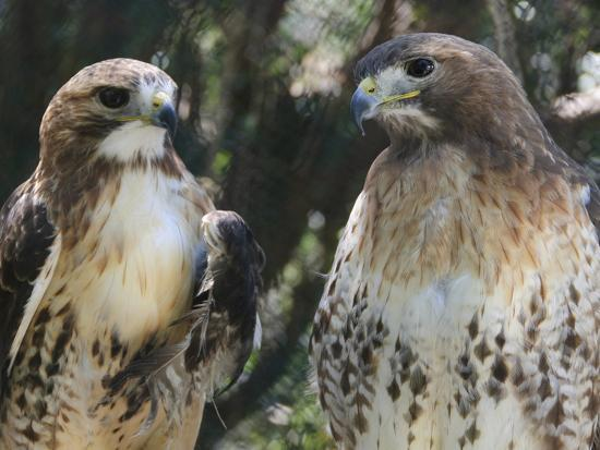 Portrait of a Pair of Red-Tailed Hawks, Buteo Jamaicensis-Amy & Al White & Petteway-Photographic Print
