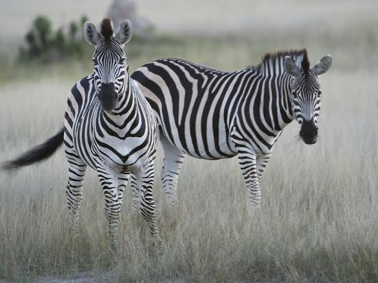 Portrait of a Pair of Zebras, Equus Species, in a Grassland-Bob Smith-Photographic Print