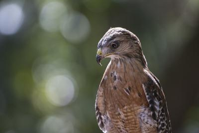 Portrait of a Perched Hawk with Intense Gaze Against Green Background-Sheila Haddad-Photographic Print