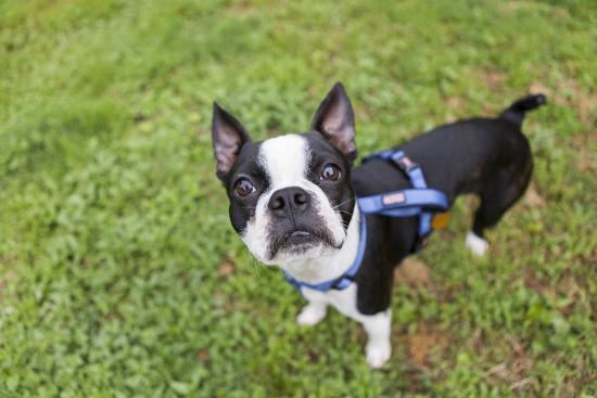 Portrait of a Pet Boston Terrier, Looking at the Camera-Hannele Lahti-Photographic Print