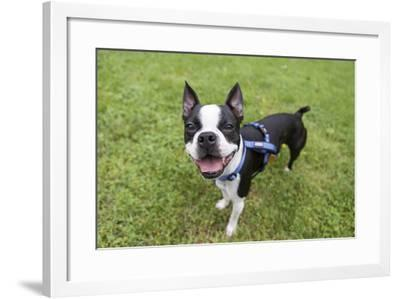 Portrait of a Pet Boston Terrier, Looking at the Camera-Hannele Lahti-Framed Photographic Print
