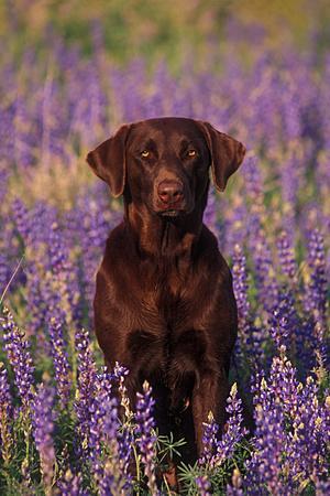 Portrait of a Pet Chocolate Labrador Retriever in a Field of Purple Wildflowers-John Cancalosi-Photographic Print