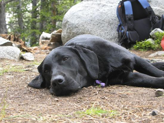Portrait of a Pet Dog Resting Near a Backpack During a Hike in the Wind River Range-Michael Forsberg-Photographic Print