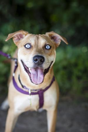 https://imgc.artprintimages.com/img/print/portrait-of-a-pet-husky-labrador-mixed-breed-dog-looking-at-the-camera_u-l-pw57n20.jpg?p=0