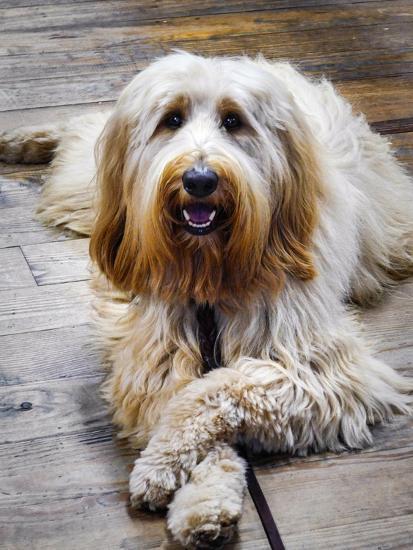 Portrait of a Pet Labra-Doodle Dog-Amy White and Al Petteway-Photographic Print