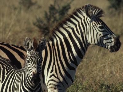Portrait of a Plains Zebra and Her Foal, Wankie National Park, Zimbabwe-James L^ Stanfield-Photographic Print
