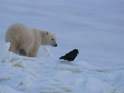 Portrait of a Polar Bear and a Raven-Norbert Rosing-Photographic Print