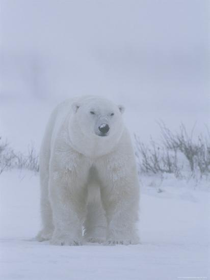 Portrait of a Polar Bear, Ursus Maritimus, in a Snow Storm-Norbert Rosing-Photographic Print