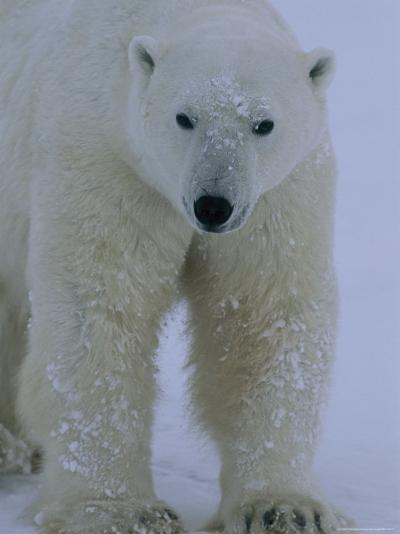 Portrait of a Polar Bear, Ursus Maritimus, in Snow-Norbert Rosing-Photographic Print