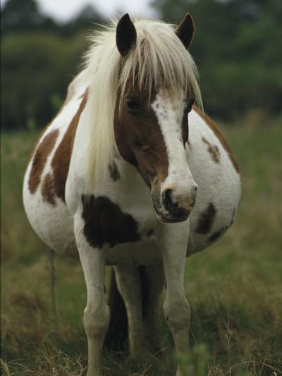 Portrait of a Pregnant Assateague Wild Pony Mare-James L^ Stanfield-Photographic Print