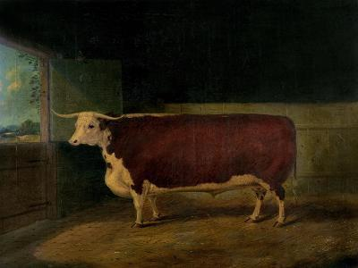 Portrait of a Prize Hereford Steer, 1874-Richard Whitford-Giclee Print