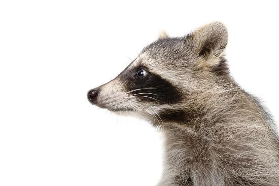 Portrait of a Raccoon in Profile-Sonsedskaya-Photographic Print
