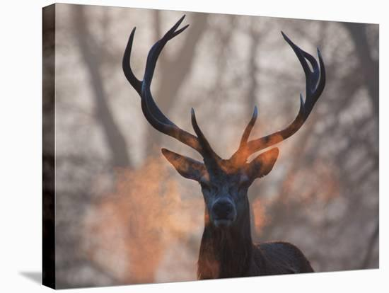 Portrait of a Red Deer Buck, Cervus Elaphus, in Winter-Alex Saberi-Stretched Canvas Print