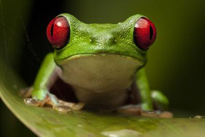 Portrait of a Red-Eyed Tree Frog, Agalychnis Calidryas-Robin Moore-Photographic Print