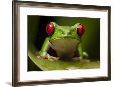 Portrait of a Red-Eyed Tree Frog, Agalychnis Calidryas-Robin Moore-Framed Photographic Print
