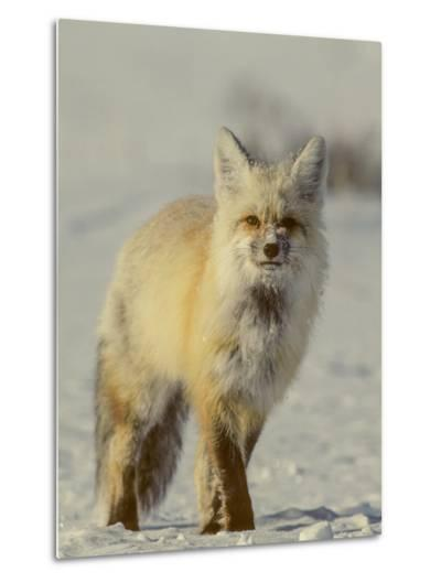 Portrait of a Red Fox with Snow on its Face-Tom Murphy-Metal Print