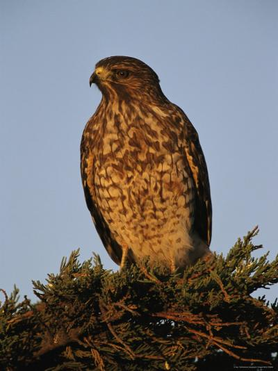 Portrait of a Red Shouldered Hawk-Roy Toft-Photographic Print