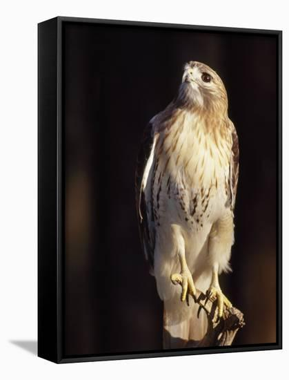 Portrait of a Rehabilitated Captive Red-Tail Hawk-Paul Sutherland-Framed Canvas Print