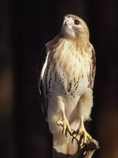 Portrait of a Rehabilitated Captive Red-Tail Hawk-Paul Sutherland-Photographic Print