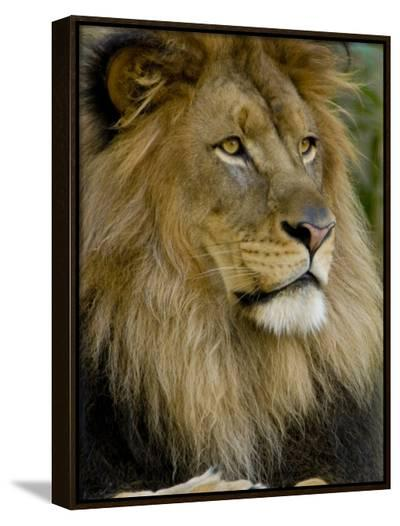 Portrait of a Resting Male African Lion, Panthera Leo-Paul Sutherland-Framed Canvas Print