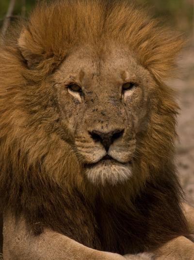 Portrait of a Resting Male African Lion, Panthera Leo-Beverly Joubert-Photographic Print