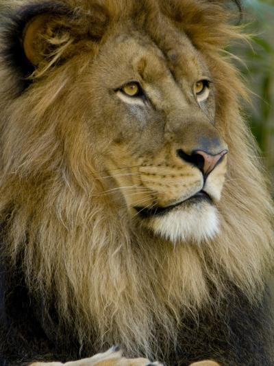 Portrait of a Resting Male African Lion, Panthera Leo-Paul Sutherland-Photographic Print