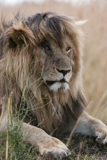 Portrait of a Resting Male Lion, Panthera Leo, known in the Masai Mara As, Scarface-Sergio Pitamitz-Photographic Print