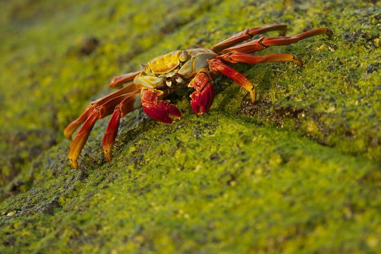 Portrait of a Sally Lightfoot Crab, Grapsus Grapsus, on an Algae Covered Rock-Tim Laman-Photographic Print