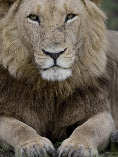 Portrait of a Scar Faced African Male Lion-Michael Polzia-Photographic Print