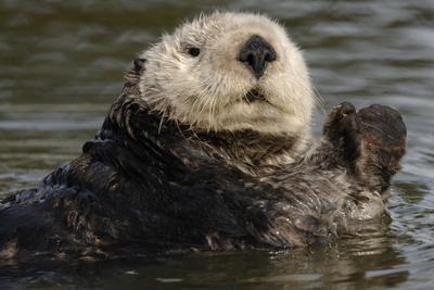 https://imgc.artprintimages.com/img/print/portrait-of-a-sea-otter-enhydra-lutris-floating-in-water_u-l-pwczvx0.jpg?p=0