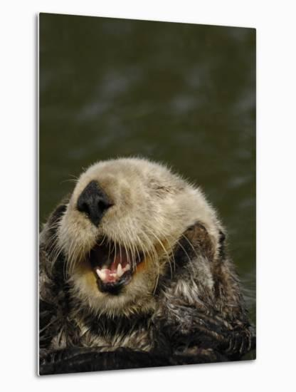 Portrait of a Sea Otter, Enhydra Lutris, Grooming While Floating on its Back-Jeff Wildermuth-Metal Print