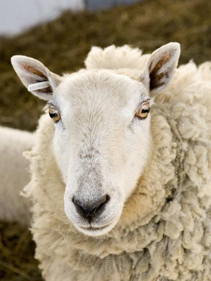 Portrait of a Sheep with Ear Tag, Pennsylvania-Tim Laman-Photographic Print