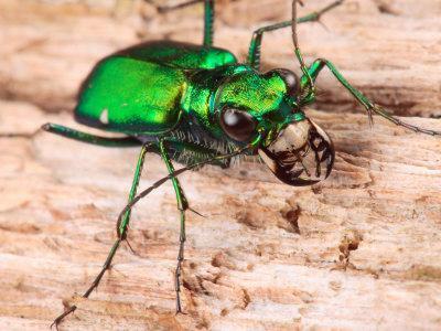 https://imgc.artprintimages.com/img/print/portrait-of-a-six-spotted-green-tiger-beetle-cincindela-formosa_u-l-p4oszd0.jpg?p=0