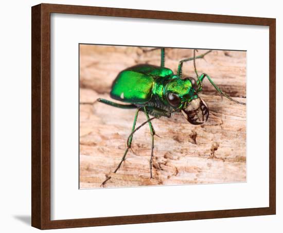 Portrait of a Six-Spotted Green Tiger Beetle, Cincindela Formosa-George Grall-Framed Photographic Print