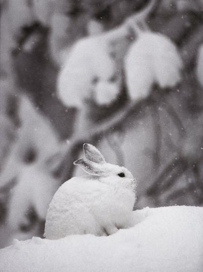 Portrait of a Snowshoe Hare-Michael S^ Quinton-Photographic Print