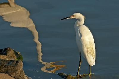 Portrait of a Snowy Egret, Egretta Thula and a Reflection in Water-Medford Taylor-Photographic Print