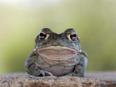 Portrait of a Sonoran Desert Toad, Bufo Alvarius-Kike Calvo-Photographic Print