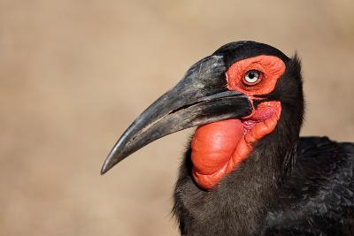 Portrait of a Southern Ground Hornbill; Bucorvus Leadbeateri; South Africa-Johan Swanepoel-Photographic Print